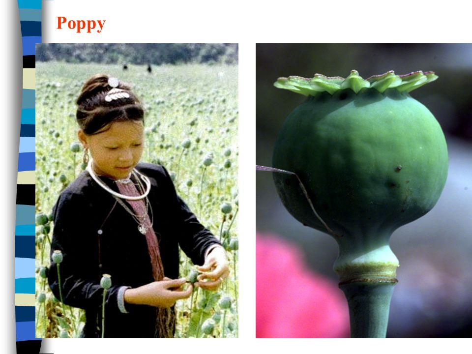 阿片生物碱类 Poppy