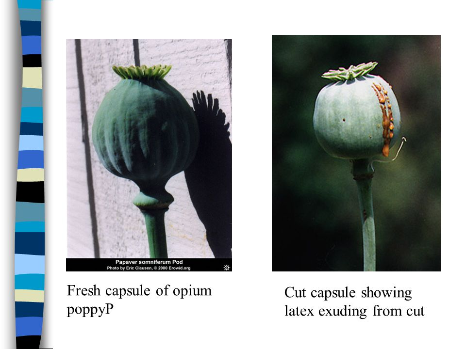 Fresh capsule of opium poppyP Cut capsule showing latex exuding from cut