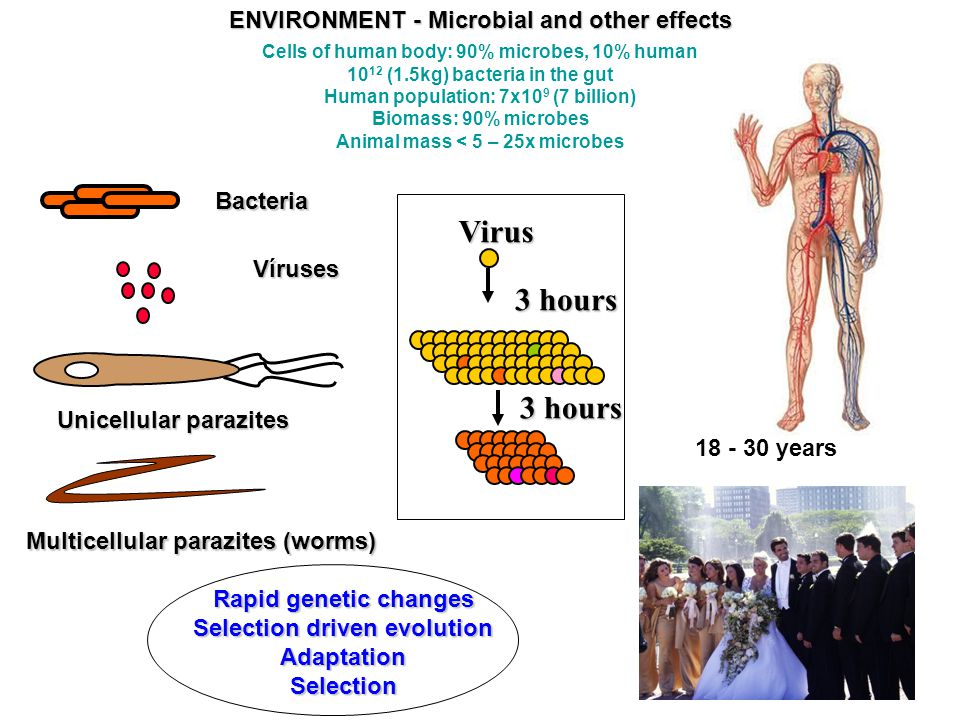 Bacteria Víruses Multicellular parazites (worms) Unicellular parazites Rapid genetic changes Selection driven evolution AdaptationSelection Virus 3 hours 18 - 30 years ENVIRONMENT - Microbial and other effects Cells of human body: 90% microbes, 10% human 10 12 (1.5kg) bacteria in the gut Human population: 7x10 9 (7 billion) Biomass: 90% microbes Animal mass < 5 – 25x microbes