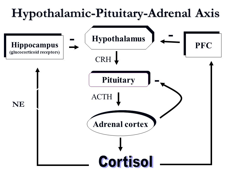 Hypothalamic-Pituitary-Adrenal Axis Hypothalamus Pituitary Adrenal cortex Hippocampus (glucocorticoid receptors) Hippocampus (glucocorticoid receptors