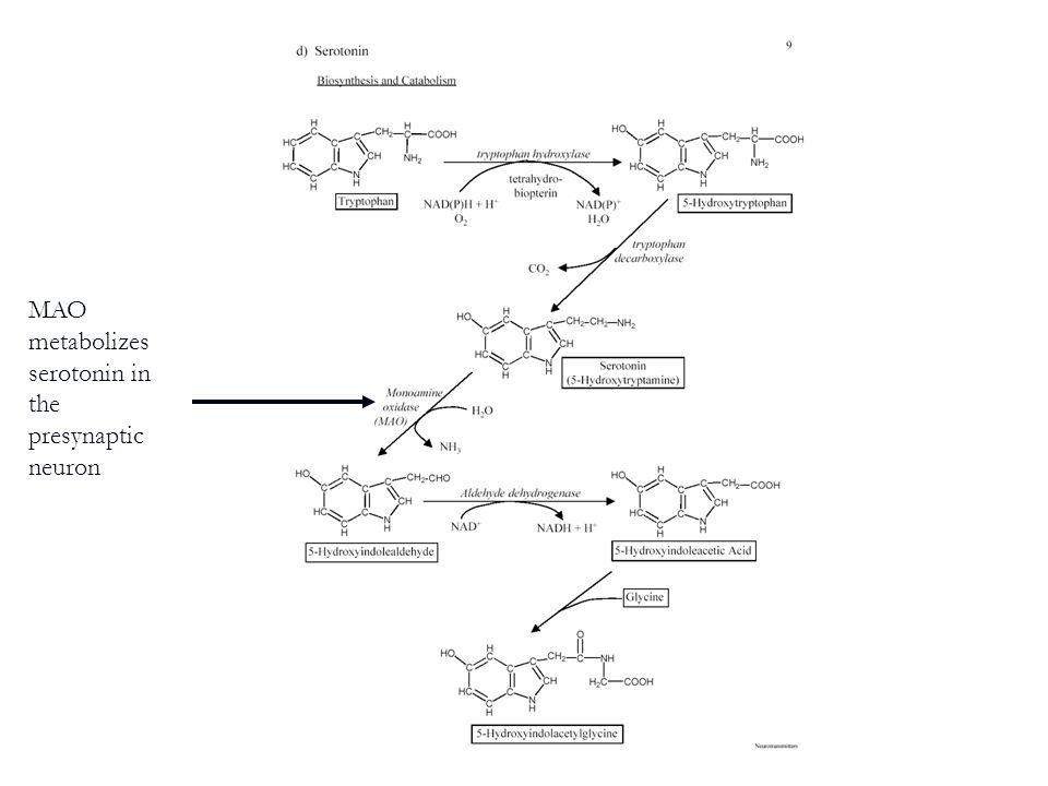 MAO metabolizes serotonin in the presynaptic neuron