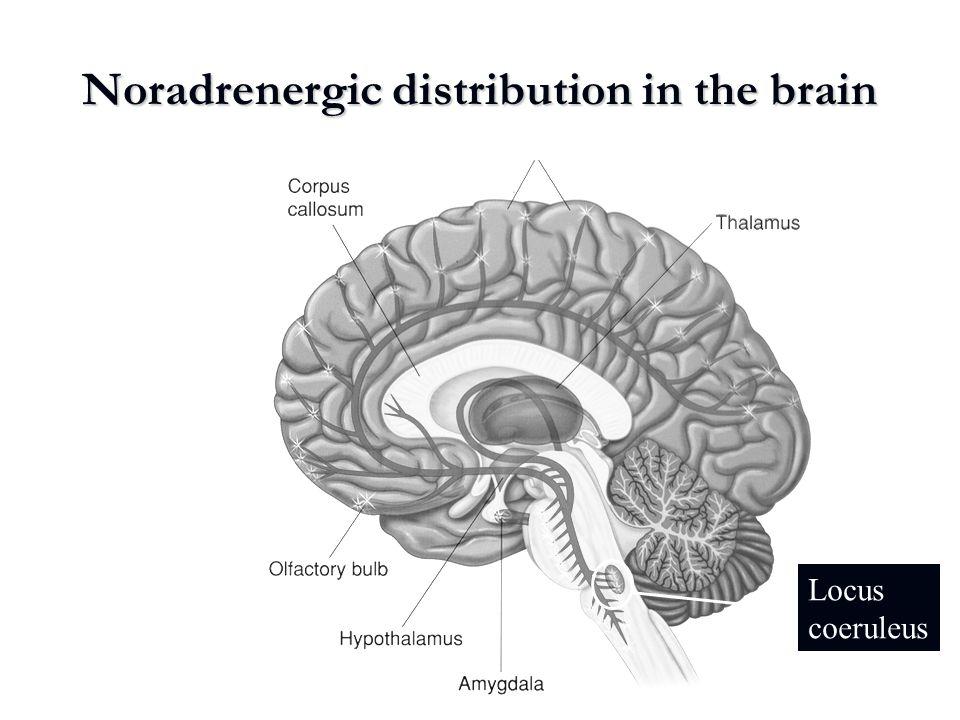 Noradrenergic distribution in the brain Locus coeruleus