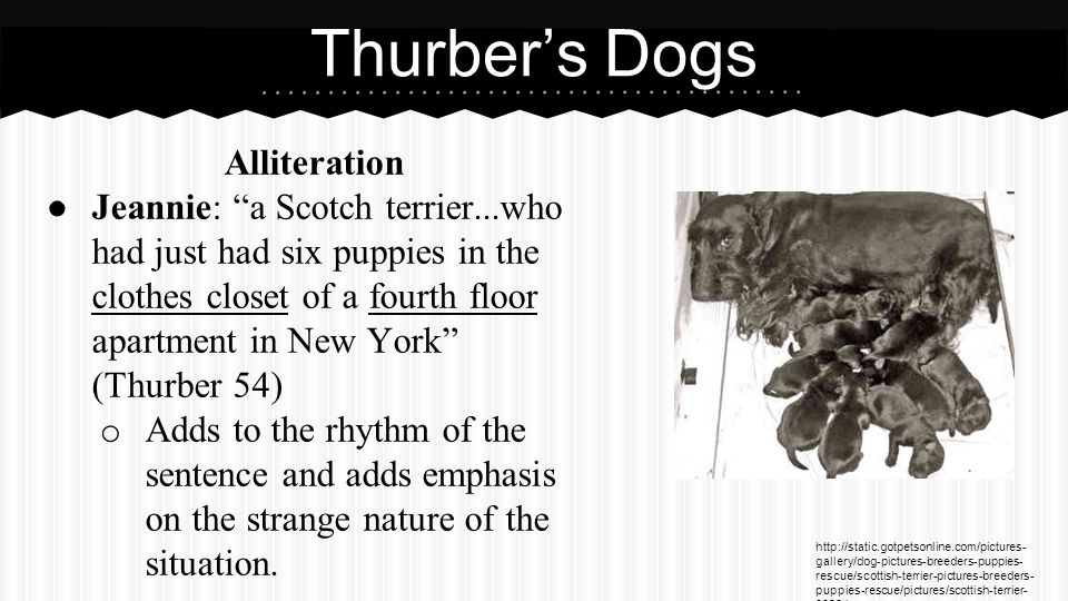 Alliteration ● Jeannie: a Scotch terrier...who had just had six puppies in the clothes closet of a fourth floor apartment in New York (Thurber 54) o Adds to the rhythm of the sentence and adds emphasis on the strange nature of the situation.