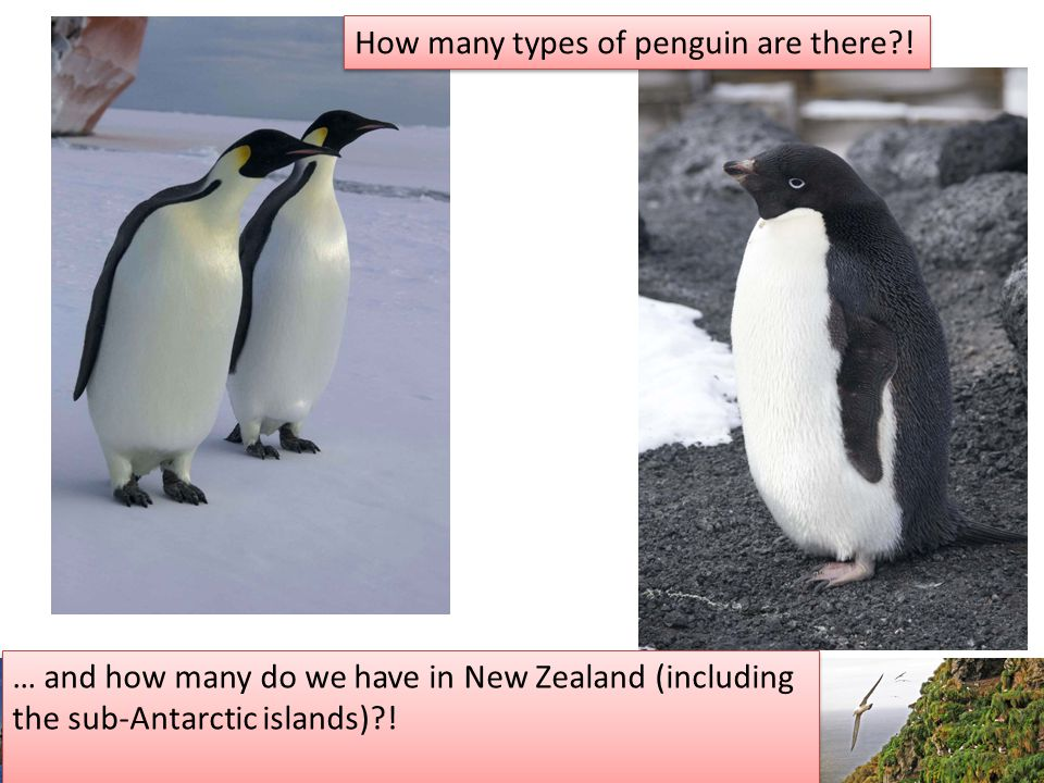 How many types of penguin are there .