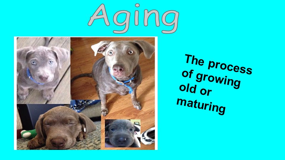 The process of growing old or maturing