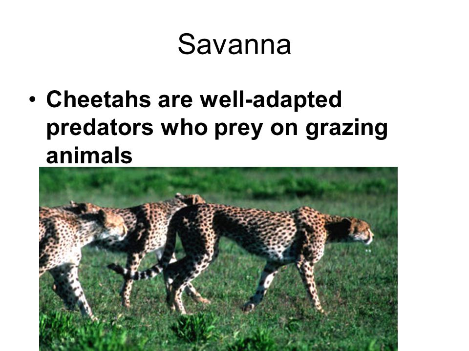 Savanna Cheetahs are well-adapted predators who prey on grazing animals