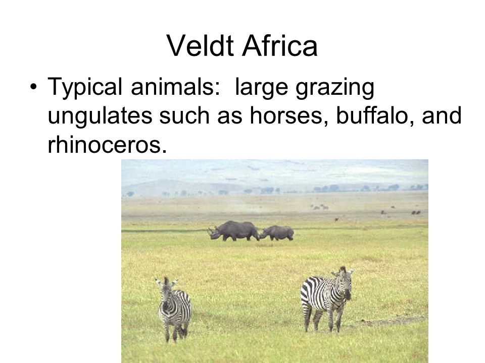 Veldt Africa Typical animals: large grazing ungulates such as horses, buffalo, and rhinoceros.