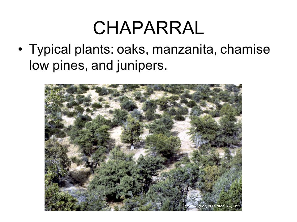 CHAPARRAL Typical plants: oaks, manzanita, chamise low pines, and junipers.