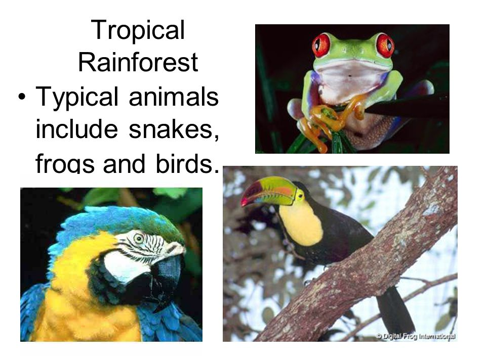 Tropical Rainforest Typical animals include snakes, frogs and birds.