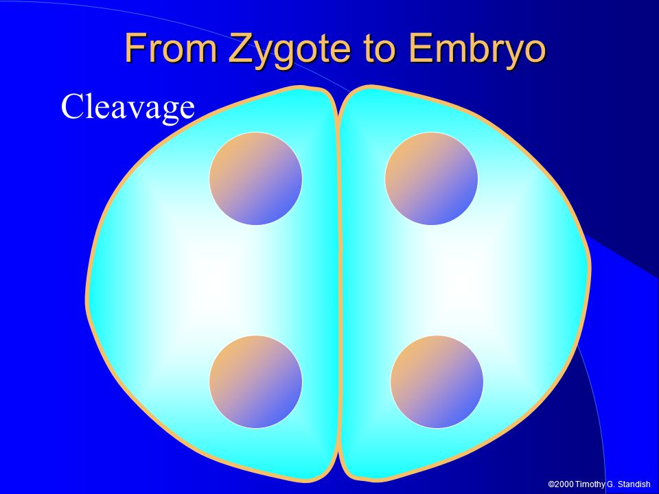 ©2000 Timothy G. Standish Cleavage From Zygote to Embryo