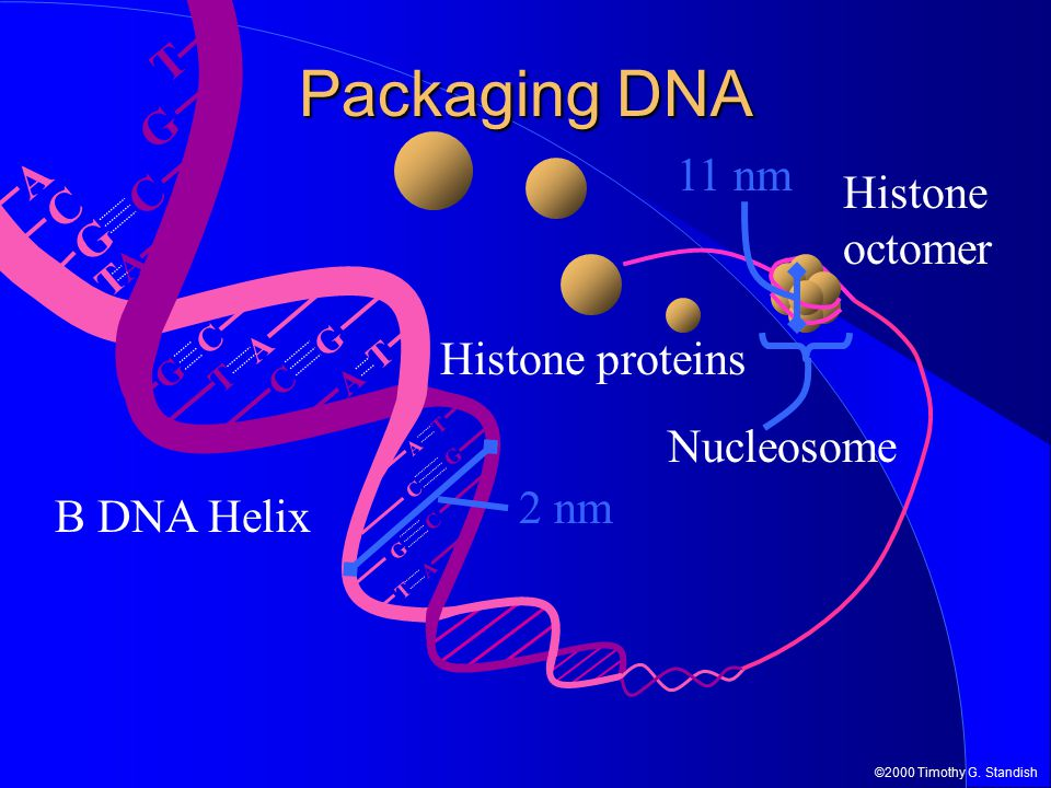 ©2000 Timothy G. Standish A T T A G C C G G C TATA T A G C C G G C T A A T Packaging DNA Histone proteins Histone octomer Nucleosome 11 nm B DNA Helix