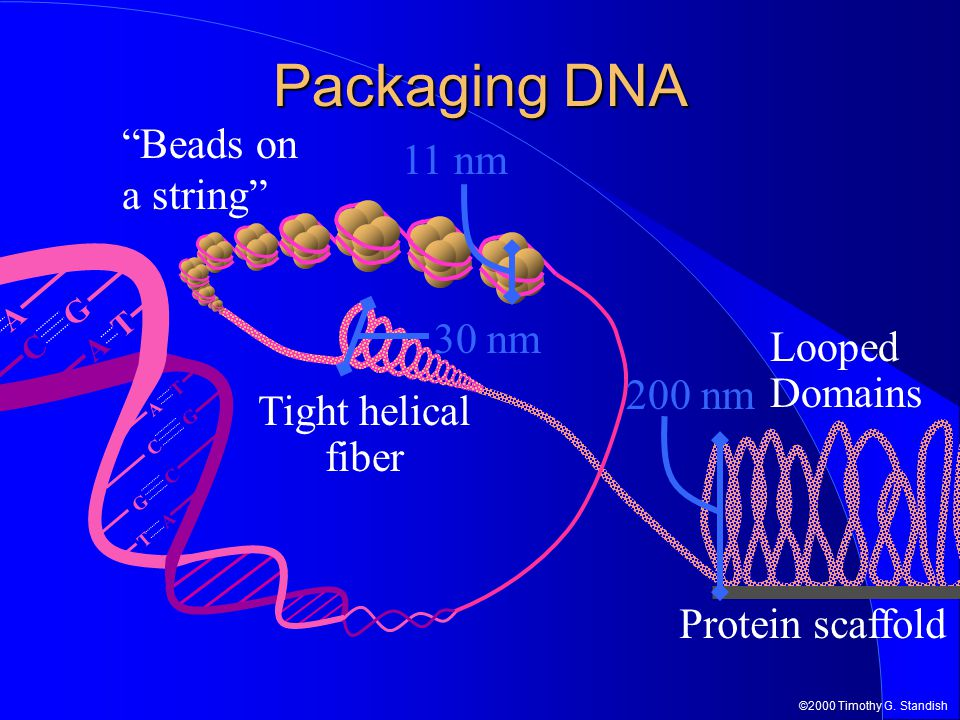"""©2000 Timothy G. Standish Packaging DNA A T T A G C C G G C T A A T Protein scaffold 11 nm """"Beads on a string"""" 30 nm Tight helical fiber Looped Domain"""