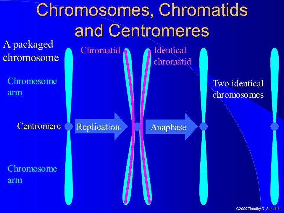 ©2000 Timothy G. Standish Replication Chromosomes, Chromatids and Centromeres Centromere Chromosome arm Identical chromatid Chromatid Anaphase A packa