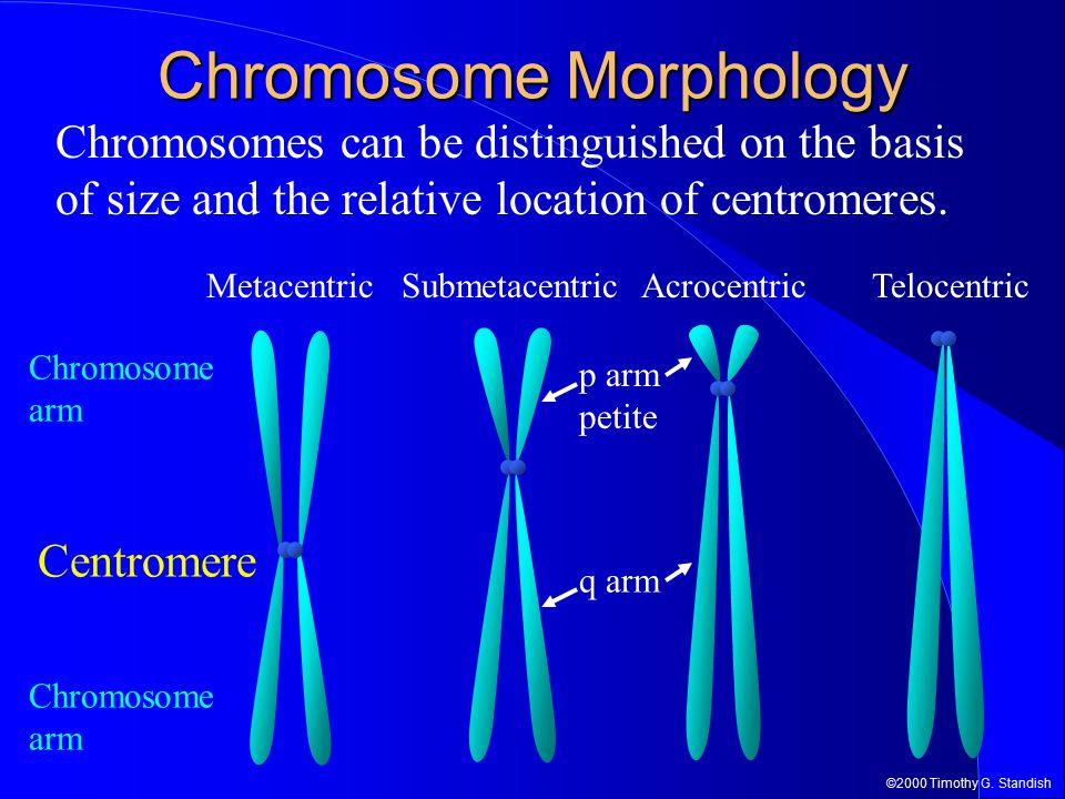 ©2000 Timothy G. Standish Chromosome Morphology Chromosome arm Centromere SubmetacentricAcrocentricTelocentricMetacentric q arm p arm petite Chromosom