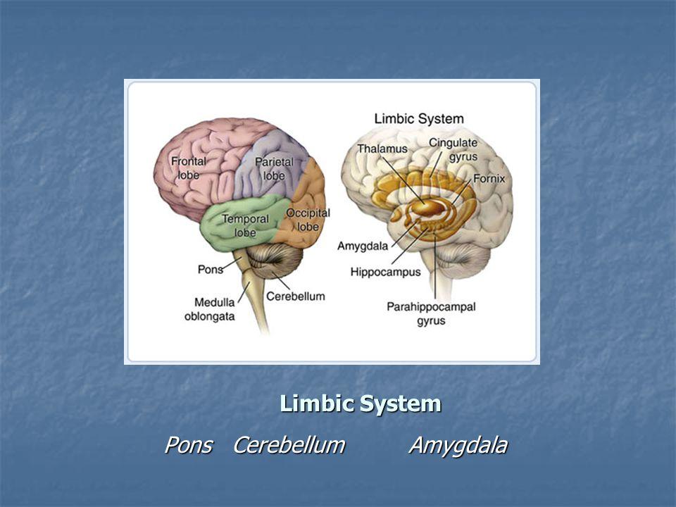Limbic System Pons Cerebellum Amygdala Pons Cerebellum Amygdala