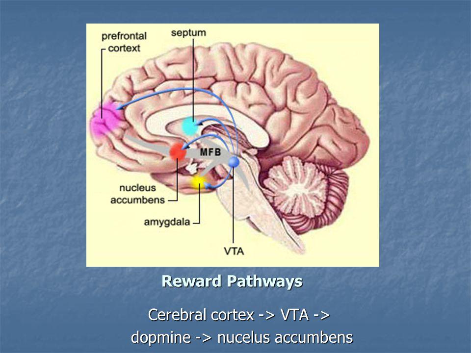 Reward Pathways Cerebral cortex -> VTA -> dopmine -> nucelus accumbens dopmine -> nucelus accumbens