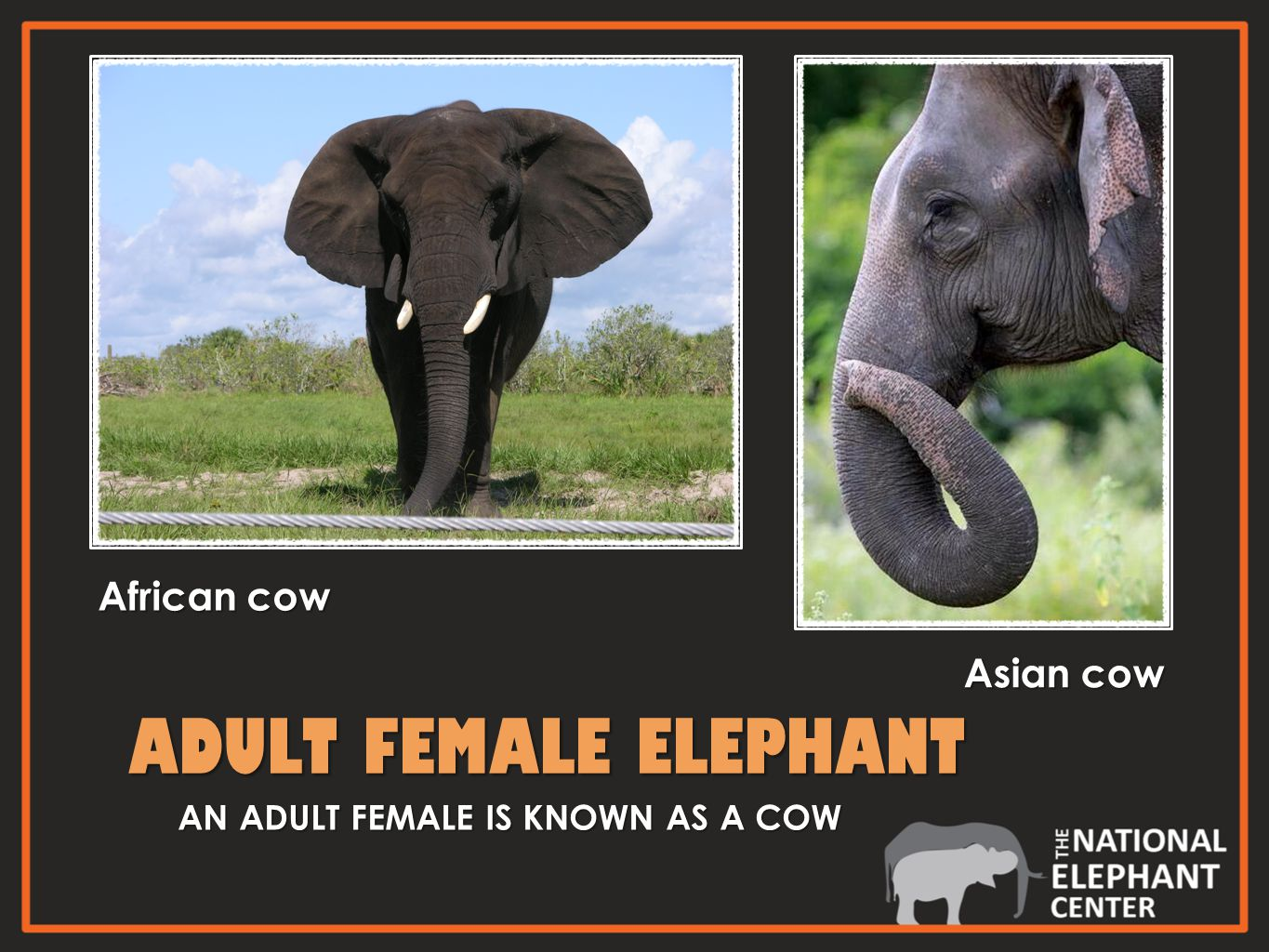 ADULT FEMALE ELEPHANT ADULT FEMALE ELEPHANT AN ADULT FEMALE IS KNOWN AS A COW African cow Asian cow