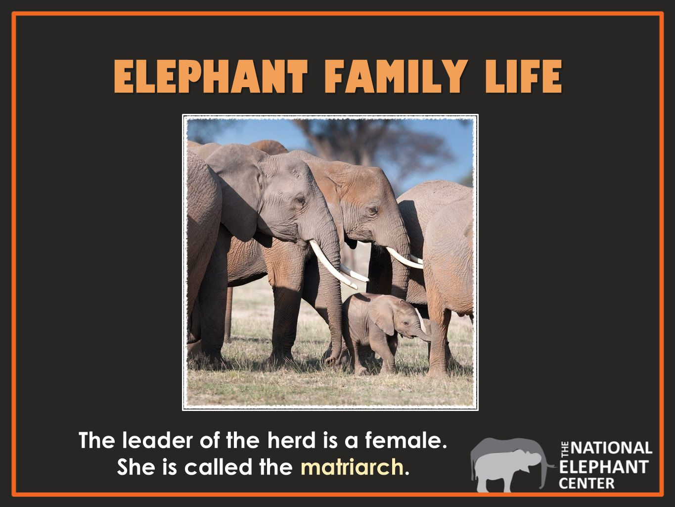 ELEPHANT FAMILY LIFE The leader of the herd is a female. She is called the matriarch.