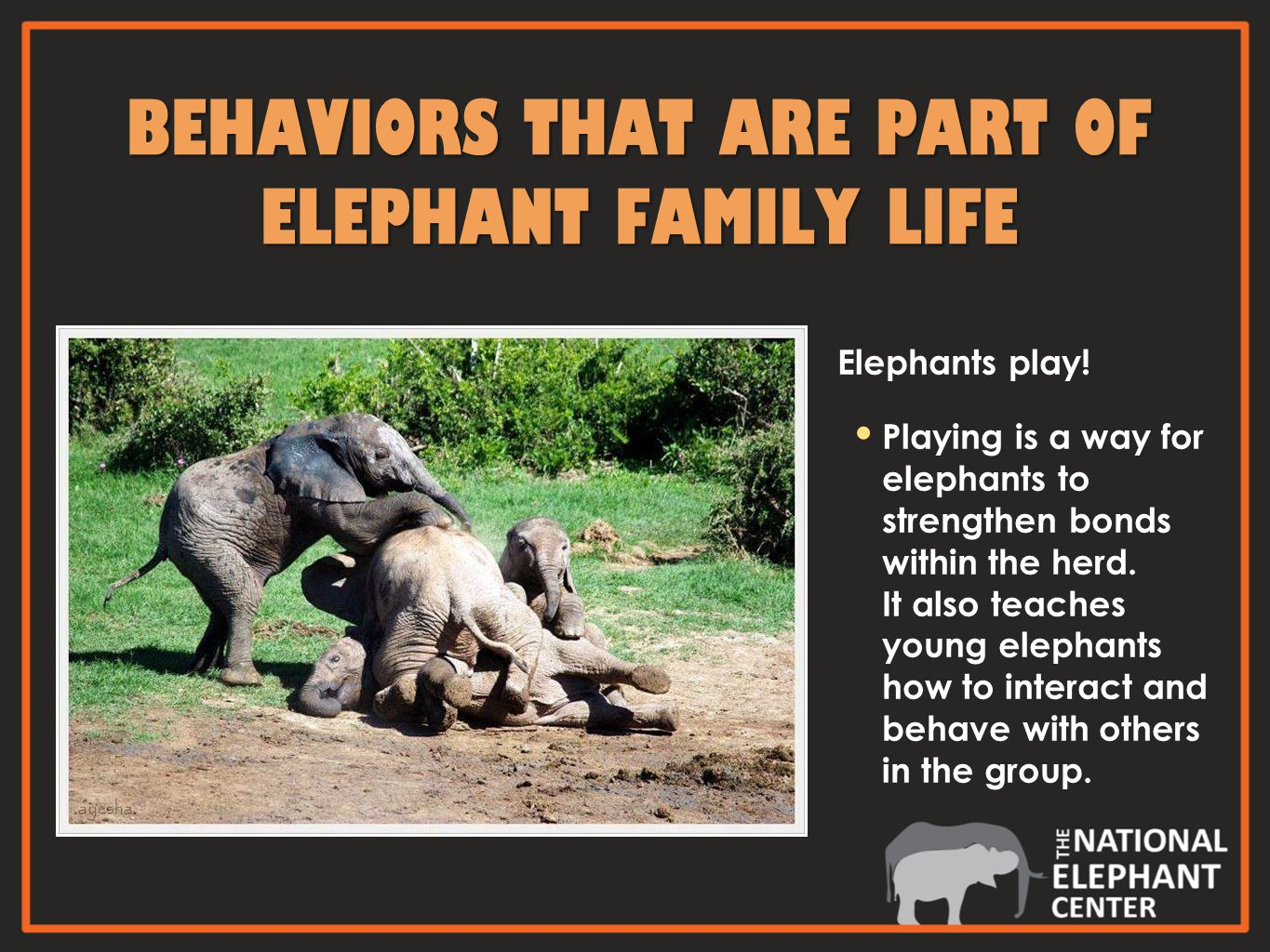 Elephants play. Playing is a way for elephants to strengthen bonds within the herd.
