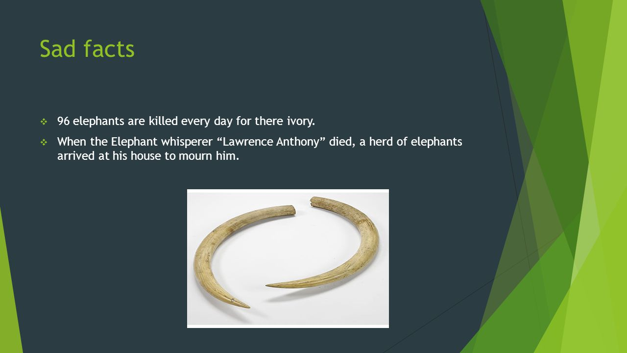 "Sad facts  96 elephants are killed every day for there ivory.  When the Elephant whisperer ""Lawrence Anthony"" died, a herd of elephants arrived at h"