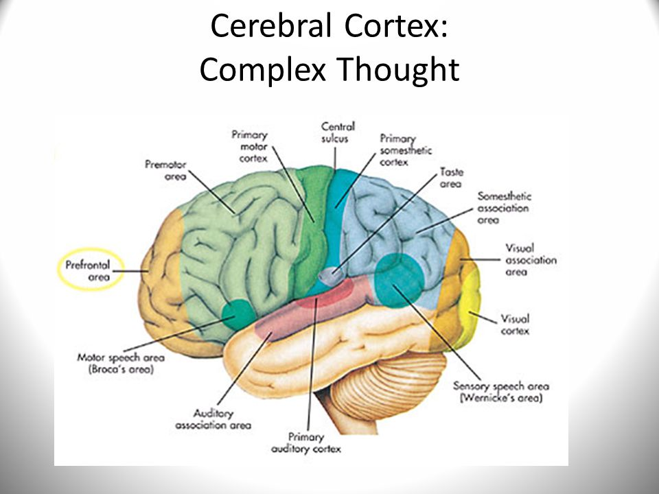 Cerebral Cortex: Complex Thought