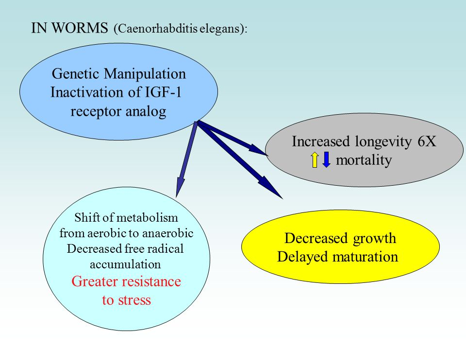 IN FLIES (Drosophila melanogaster): Genetic Manipulation Inactivation of IGF-1 receptor analog Decreased growth Delayed maturation Shift of metabolism from aerobic to anaerobic Greater resistance to stress Increased longevity Decreased mortality