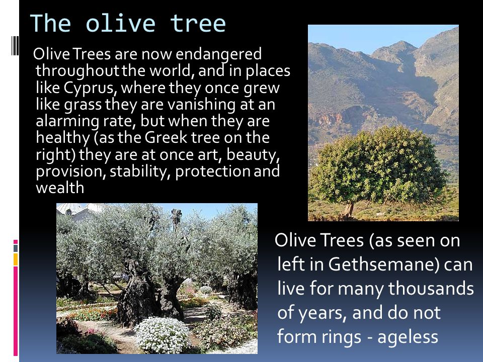 The olive tree Olive Trees are now endangered throughout the world, and in places like Cyprus, where they once grew like grass they are vanishing at an alarming rate, but when they are healthy (as the Greek tree on the right) they are at once art, beauty, provision, stability, protection and wealth Olive Trees (as seen on left in Gethsemane) can live for many thousands of years, and do not form rings - ageless