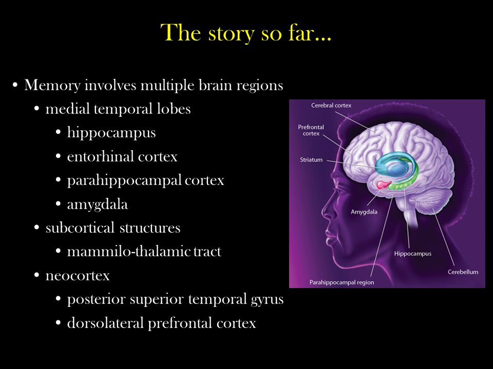 The story so far… Memory involves multiple brain regions medial temporal lobes hippocampus entorhinal cortex parahippocampal cortex amygdala subcortic