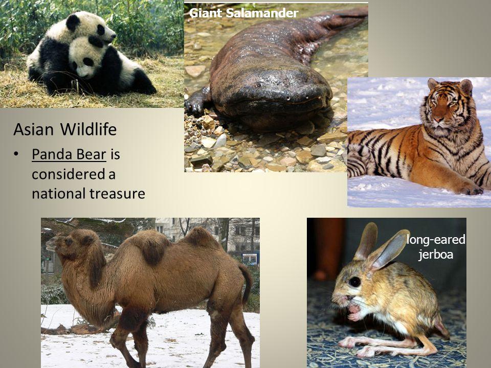Asian Wildlife Panda Bear is considered a national treasure long-eared jerboa Giant Salamander