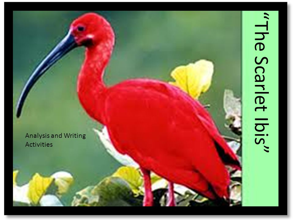 In the last sentence the narrator calls his brother his fallen scarlet ibis. In what ways could the ibis be a symbol for Doodle?