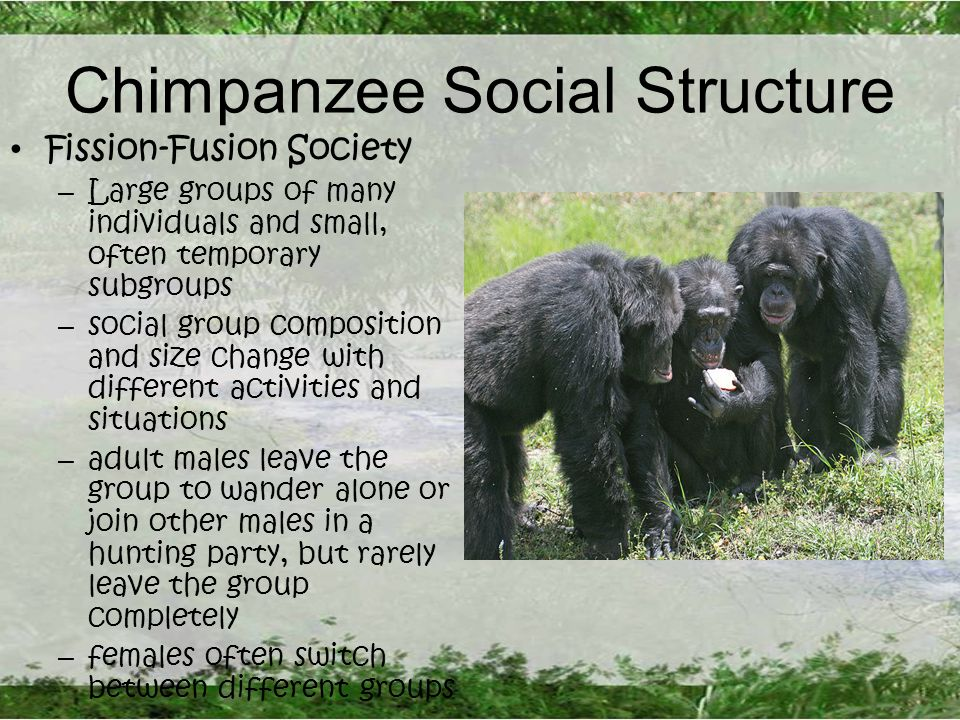 Chimpanzee Social Structure Fission-Fusion Society – Large groups of many individuals and small, often temporary subgroups – social group composition and size change with different activities and situations – adult males leave the group to wander alone or join other males in a hunting party, but rarely leave the group completely – females often switch between different groups