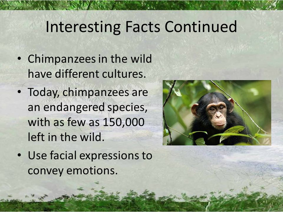 Interesting Facts Continued Chimpanzees in the wild have different cultures.