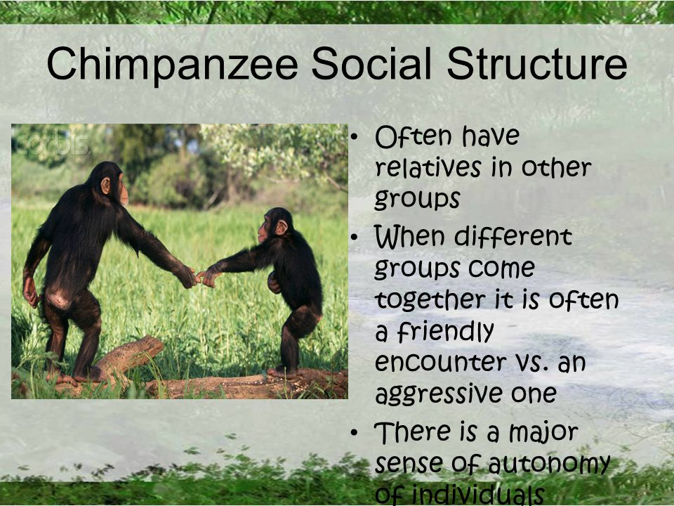 Chimpanzee Social Structure Often have relatives in other groups When different groups come together it is often a friendly encounter vs.