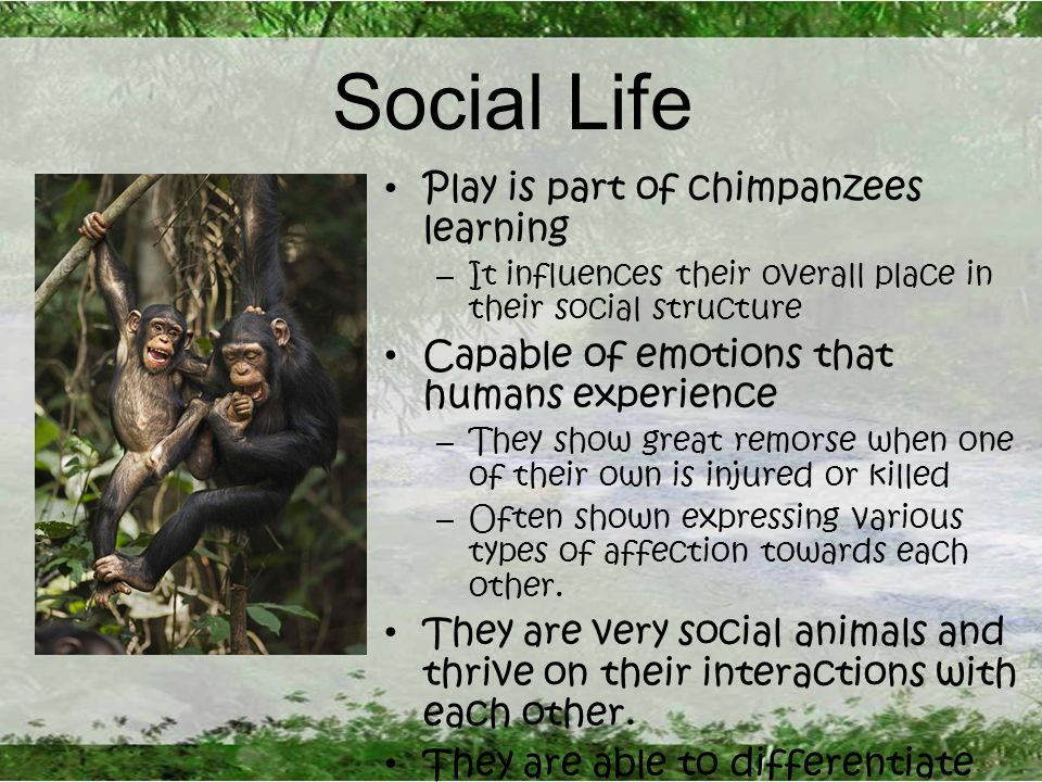 Social Life Play is part of chimpanzees learning – It influences their overall place in their social structure Capable of emotions that humans experience – They show great remorse when one of their own is injured or killed – Often shown expressing various types of affection towards each other.