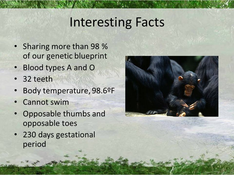 Interesting Facts Sharing more than 98 % of our genetic blueprint Blood types A and O 32 teeth Body temperature, 98.6ºF Cannot swim Opposable thumbs and opposable toes 230 days gestational period