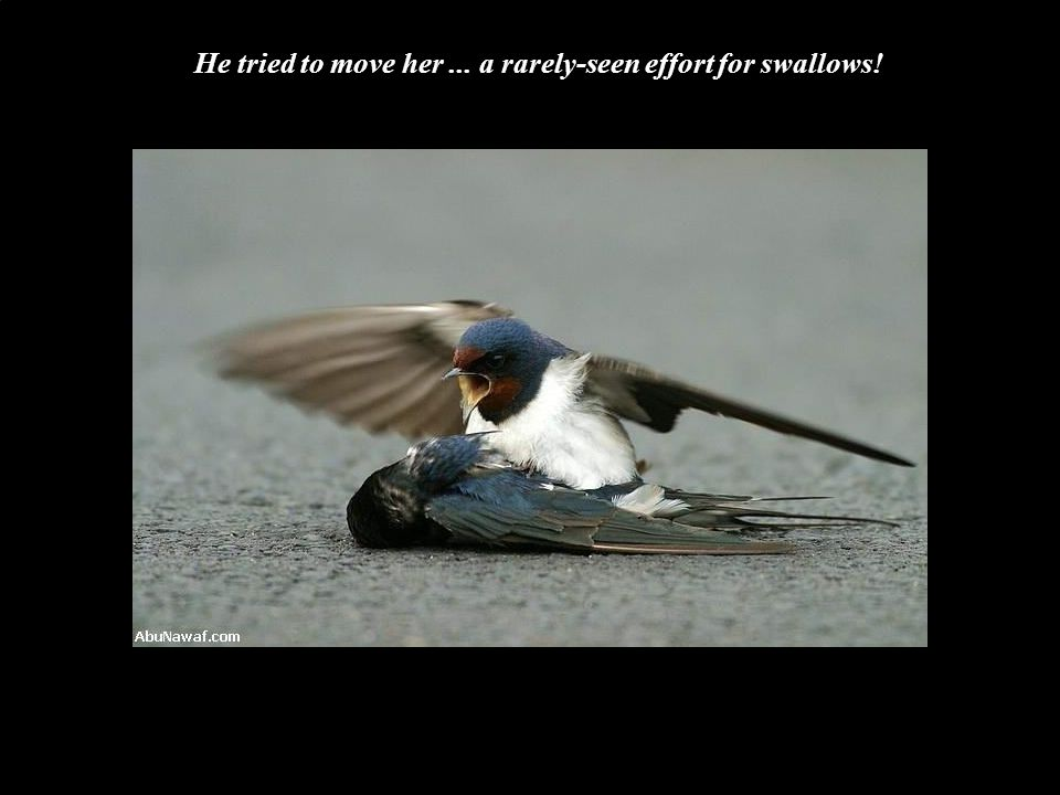 He tried to move her... a rarely-seen effort for swallows!