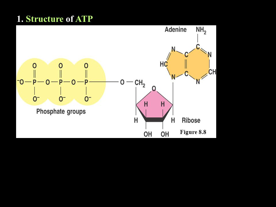 1. Structure of ATP Figure 8.8