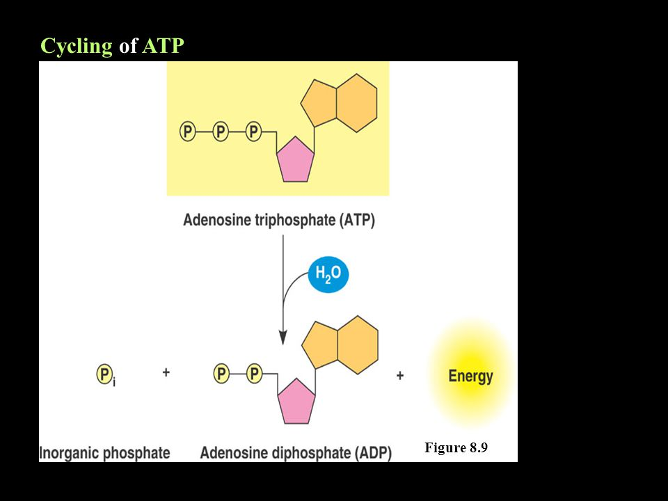 Cycling of ATP Figure 8.9