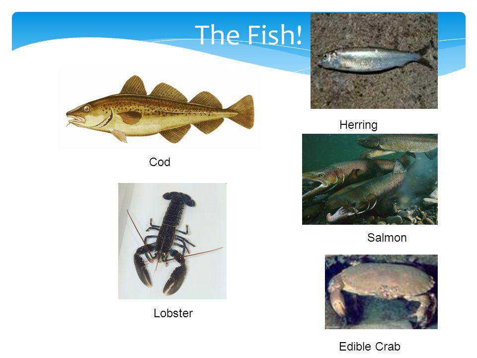 The Fish! Cod Lobster Salmon Edible Crab Herring