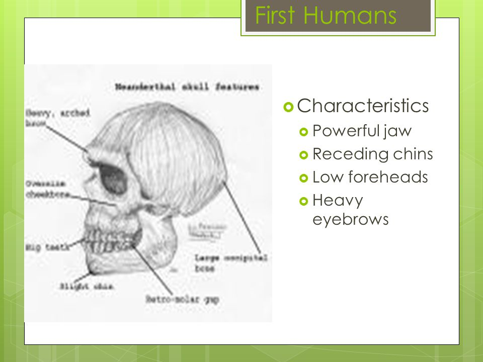 First Humans  Characteristics  Powerful jaw  Receding chins  Low foreheads  Heavy eyebrows