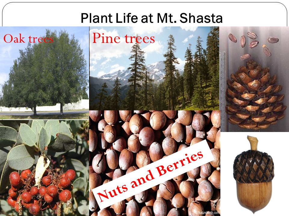 Plant Life at Mt. Shasta Pine trees Oak trees Nuts and Berries