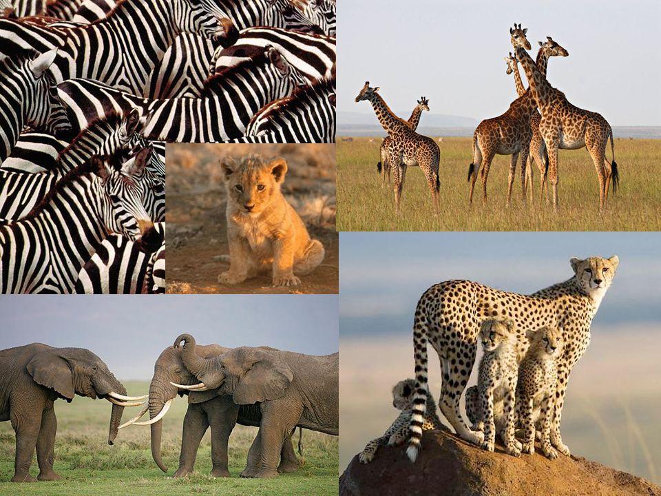References (Images) Slide 1: http://3.bp.blogspot.com/_0JsiENIiIno/SjD0vH8kuOI/AAAAAAAAA50/3AUmAZ7MWPQ/s80 0/masai+necklace.jpg Slide 2: http://www.culturequest.us/maasaitribe/rituals_files/MasaiWomen.jpg Slide3: http://www.susansipprelle.com/blog/media/2009/01/kenya-map11.gif Slide 5: http://farm1.static.flickr.com/68/201775729_40985ccfa2.jpg Slide 6: http://www.organicgreenandnatural.com/wp-content/uploads/2009/05/two-maasai-women- dscn0224.jpg http://www.kenya-advisor.com/images/masai-warrior-clothing-250x250.jpg http://dmetts2.files.wordpress.com/2009/06/maasai-bride1.jpg http://2.bp.blogspot.com/_YHd9CmoXRwI/SMfRsgiiTiI/AAAAAAAAAWc/GL2xsvrb5h0/s400 /pretty_masai_girl.jpg http://abinitioadinfinitum.files.wordpress.com/2007/09/masai-nr-lekerruki2.jpg Slide 7: http://lh4.ggpht.com/_zDFfpt1CcWU/R- VX3bF5uyI/AAAAAAAAA54/JQrOGHHdNfg/Kangas.JPG http://farm1.static.flickr.com/148/396674873_b08f2eda86.jpg http://images.google.com/imgres?imgurl=http://www.travel-pictures- gallery.net/kenya/pics/naivasha/thumbs/naivasha-0007.jpg&imgrefurl=http://www.travel- pictures-gallery.net/kenya/naivasha-main- 1.html&usg=__3lnXhMep8gvwVxMscxQ968vHeRE=&h=99&w=150&sz=6&hl=en& http://www.travel-pictures-gallery.net/kenya/naivasha-main-1.html Slide 8: http://www.jamriskaphotos.com/images/666_Zebras.jpg http://elgatsafaris.com/images/lion2.jpg http://www.dreamsofafricasafaris.co.ke/African-ElephantsTanzania.jpg http://img.dailymail.co.uk/i/pix/2008/02_01/CheetahsMOS_468x387.jpg http://www.nwpphotoforum.com/ubbthreads/JM_Pieces/2006_Articles/plodin/giraffes.jpg