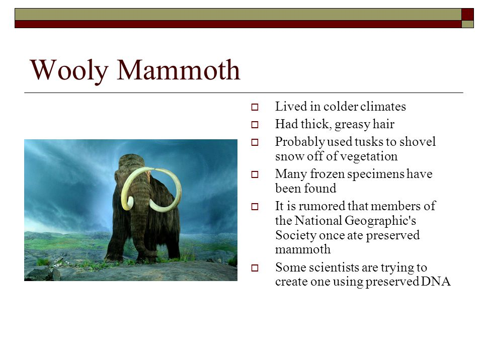 Wooly Mammoth  Lived in colder climates  Had thick, greasy hair  Probably used tusks to shovel snow off of vegetation  Many frozen specimens have