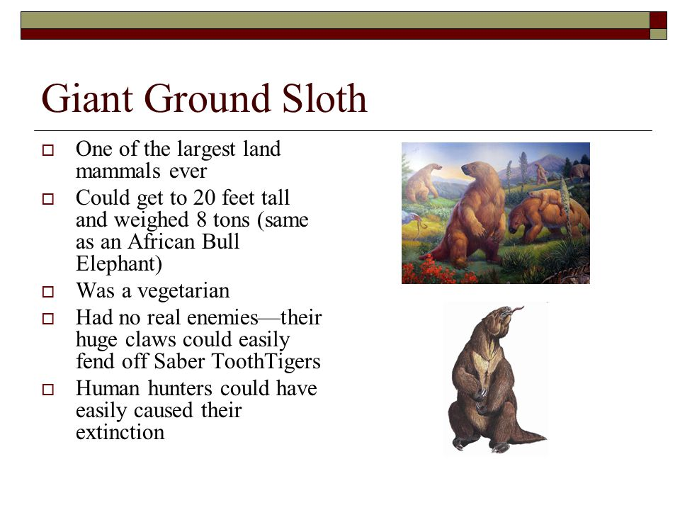 Giant Ground Sloth  One of the largest land mammals ever  Could get to 20 feet tall and weighed 8 tons (same as an African Bull Elephant)  Was a ve