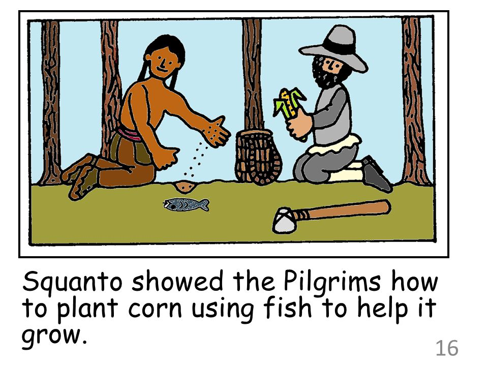 Squanto showed the Pilgrims how to plant corn using fish to help it grow. 16