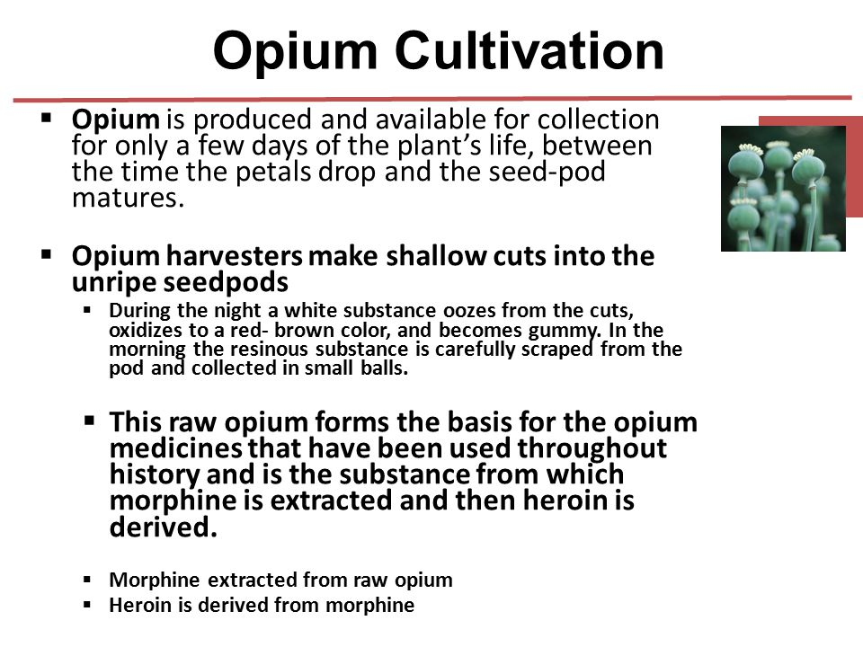  Opium is produced and available for collection for only a few days of the plant's life, between the time the petals drop and the seed-pod matures. 