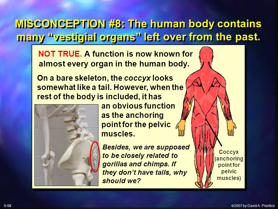 " 2007 by David A. Prentice MISCONCEPTION #8: The human body contains many ""vestigial organs"" left over from the past. NOT TRUE. A function is now kn"