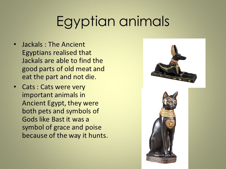 Egyptian animals Jackals : The Ancient Egyptians realised that Jackals are able to find the good parts of old meat and eat the part and not die.