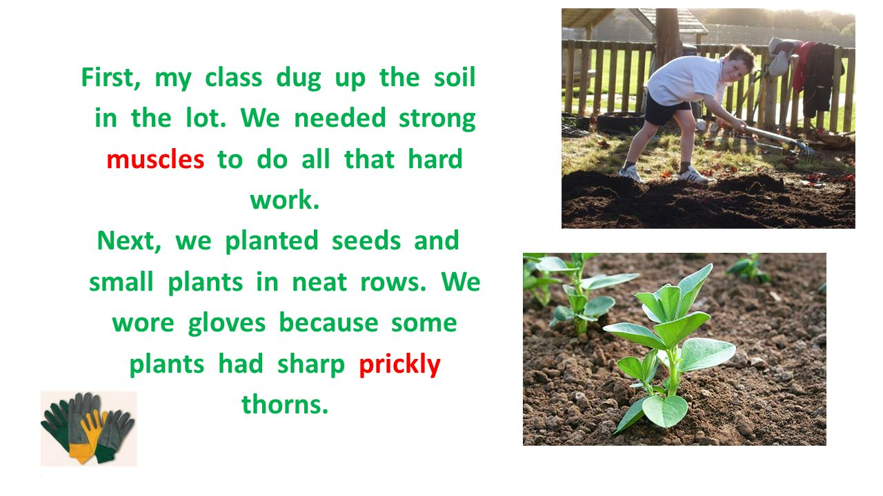 First, my class dug up the soil in the lot. We needed strong muscles to do all that hard work. Next, we planted seeds and small plants in neat rows. W