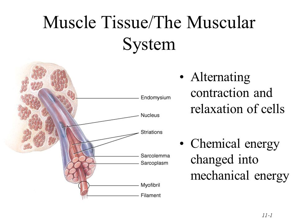 11-1 Muscle Tissue/The Muscular System Alternating contraction and relaxation of cells Chemical energy changed into mechanical energy